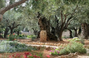 Znanstvenici iznenađeni otkrićem: sve Isusove masline iz Getsemanskog vrta su – iste sorte!